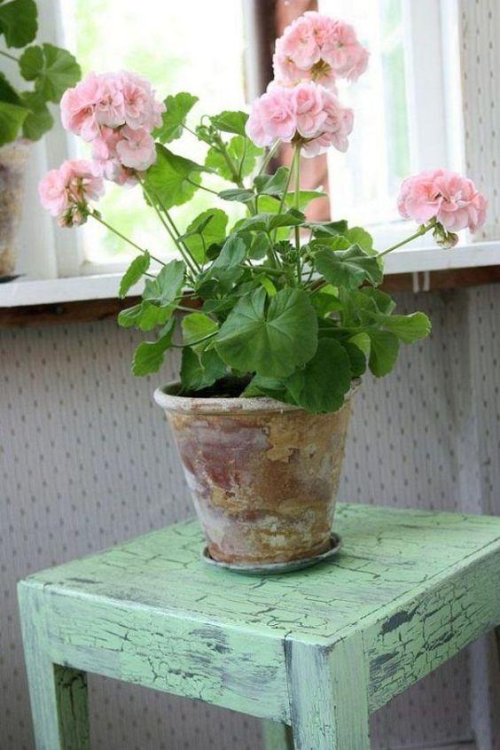 Герань с нежно розовыми цветами