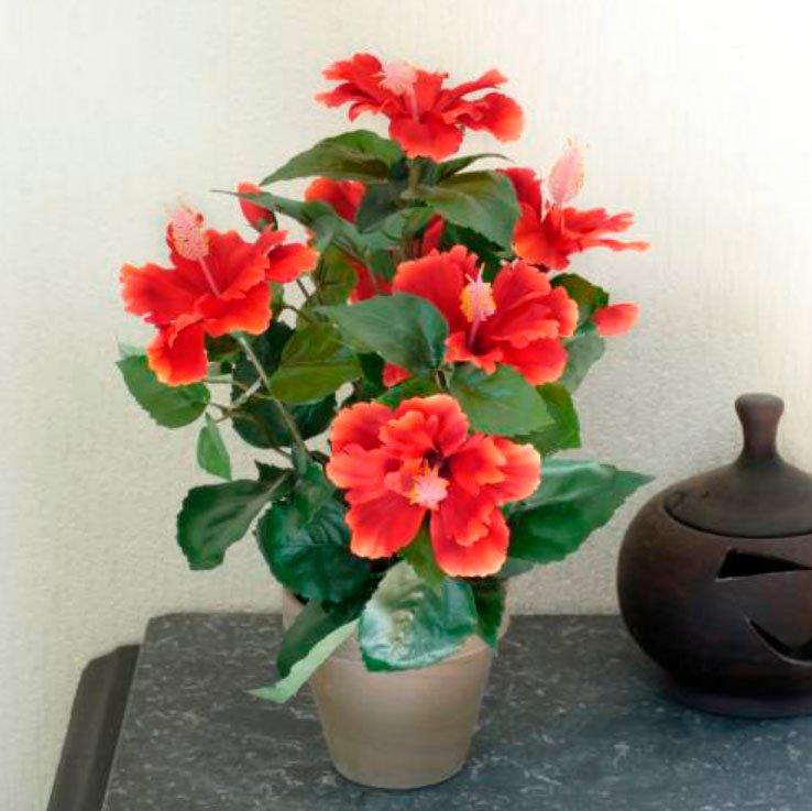 Гибискус с красивыми красными цветами