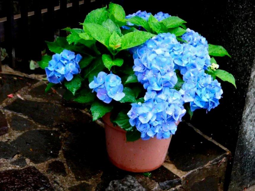 Гортензия с голубыми цветочками