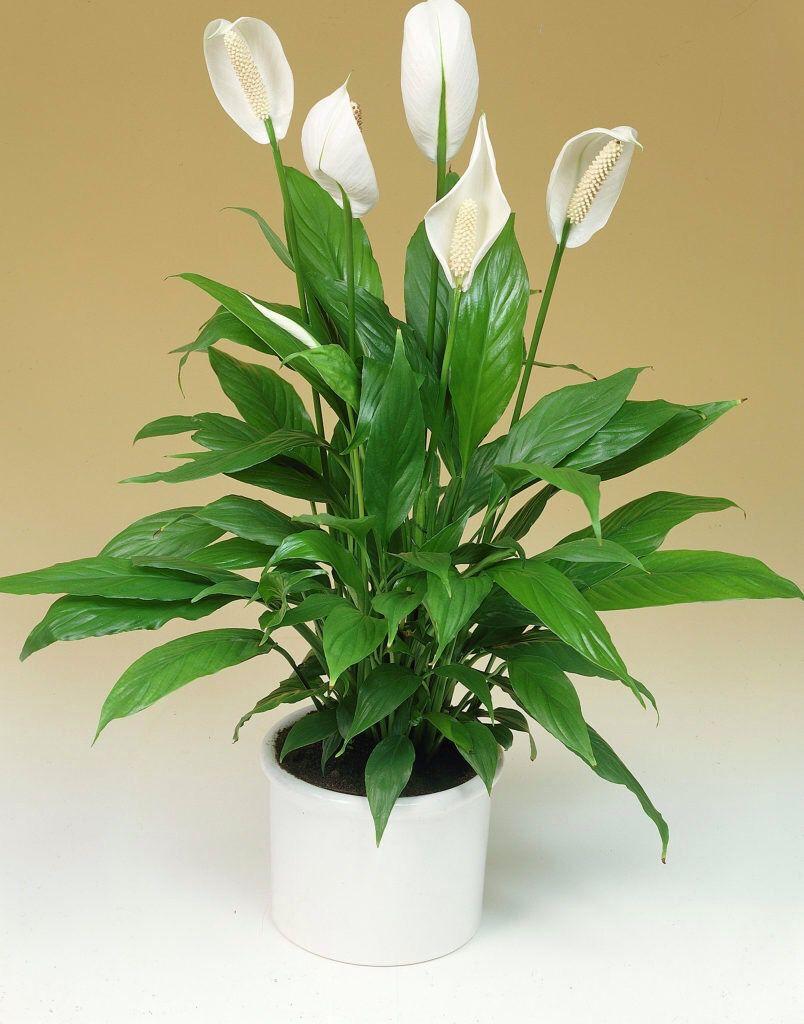 Спатифиллюм с необычными белыми цветами